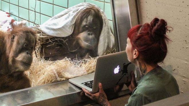 En un experimento previo en el zoológico Wilhelma en Stuttgart, Alemania, una orangutana mostró claramente su preferencia por un macho en particular. (FOTO: WILHELMA STUTTGART / HARALD KNITTER)