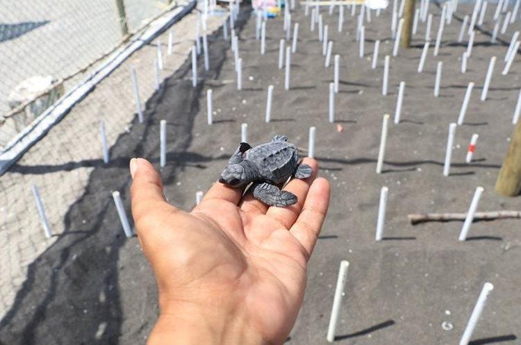 Los huevos recolectados son colocados en nidos protegidos para conservar a las tortugas en Taxisco, Santa Rosa. (Foto Prensa Libre: Enrique Paredes).