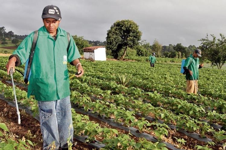 El trabajo de los extensionistas en el campo es brindar capacitación técnica sobre mejores prácticas agrícolas a pequeños productores del país.(Foto Prensa Libre:Hemeroteca PL)
