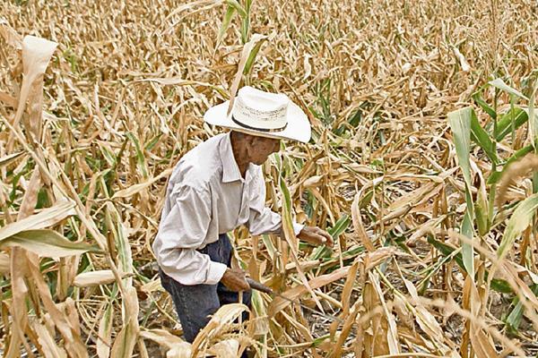 La sequía generó grandes pérdidas a los agricultores. (Foto Prensa Libre: Hemeroteca PL)