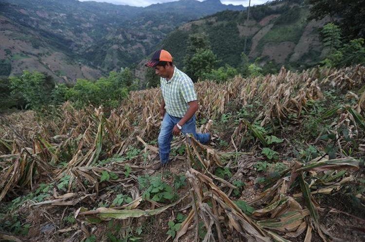 Antonio Pérez, de la Aldea Potrero, en Jocotán, Chiquimula, muestra las pérdidas de sus cultivos luego de la canícula de este año. (Foto Prensa Libre: Erick Avila)