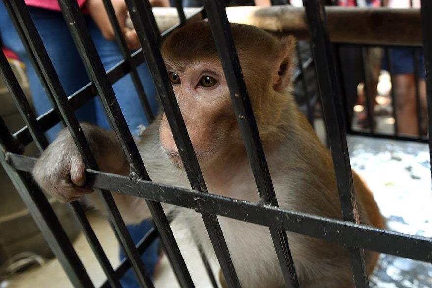 Un mono fue enjaulado luego de encontrarlo culpable por robar comida. (Foto Prensa Libre: AFP)