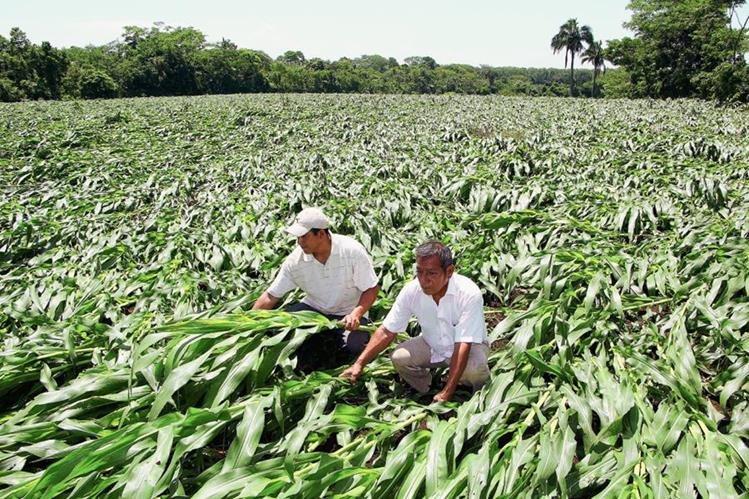 Dos agricultores  observan cómo quedó la plantación de maíz a causa de los fuertes vientos que azotaron  en  la aldea Las Pilas, Sector 2, de la cabecera de Retalhuleu. (Foto Prensa Libre: Rolando Miranda)