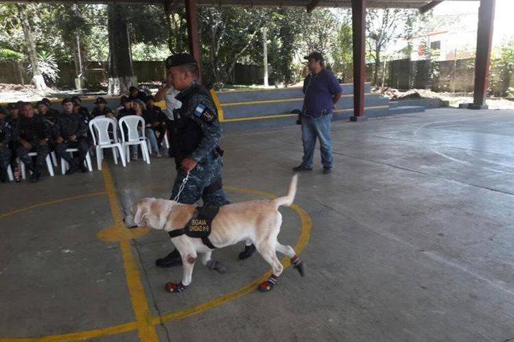 Uno de los agentes caninos retirados por la Policía Nacional Civil (PNC), luego del tiempo de servicio requerido. (Foto Prensa Libre: PNC)