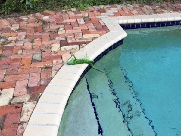 Una iguana verde congelada en el borde de una piscina en el sur de Florida. (Foto Prensa Libre: Frank Cerabino).