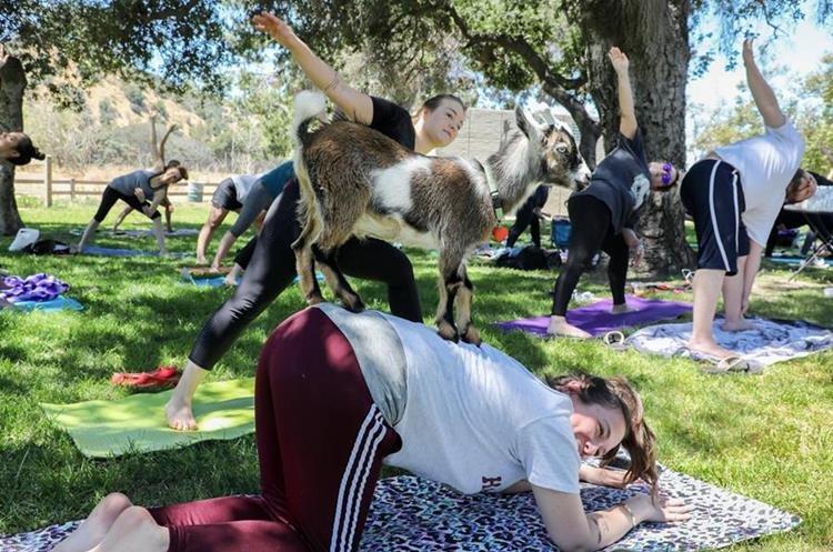 La tendencia de practicar yoga con animales se ha dispersado por varias ciudades de Estados Unidos. (Foto Prensa Libre: EFE)