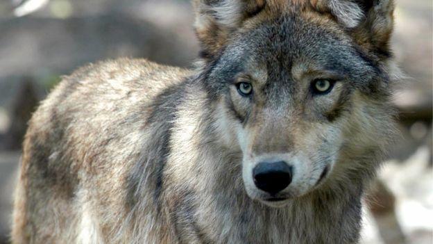 Científicos coinciden en que los perros descienden de los lobos. (Foto Prensa Libre: AFP)