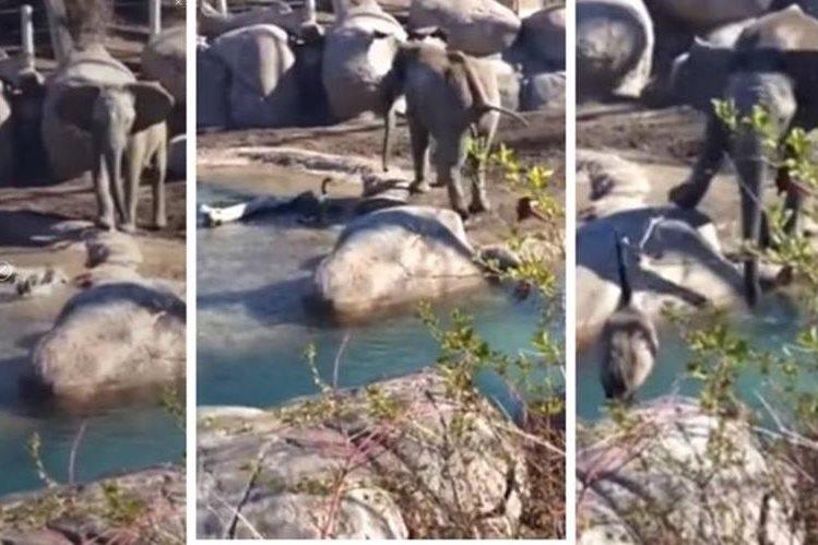 El joven elefante trató de defenderse del ganso con sus orejas, trompa y patas. (Foto Prensa Libre: YouTube / Melanie Stevens)