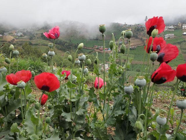 Cultivos de amapola en la región. (Foto Prensa Libre: Estuardo Paredes)