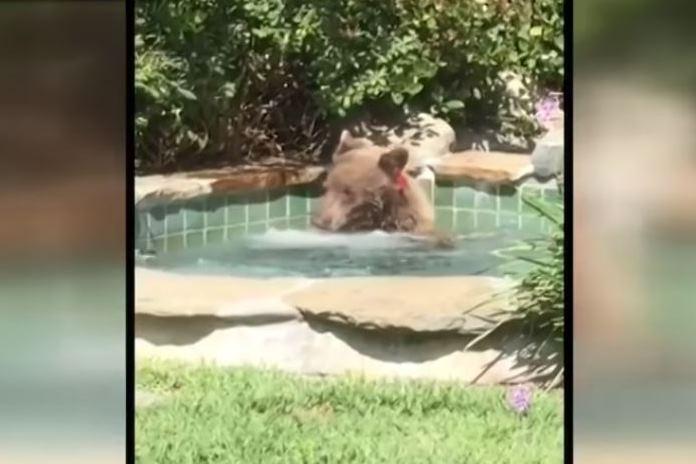 Este oso disfruta de un sensual baño en un 'jacuzzi' en California