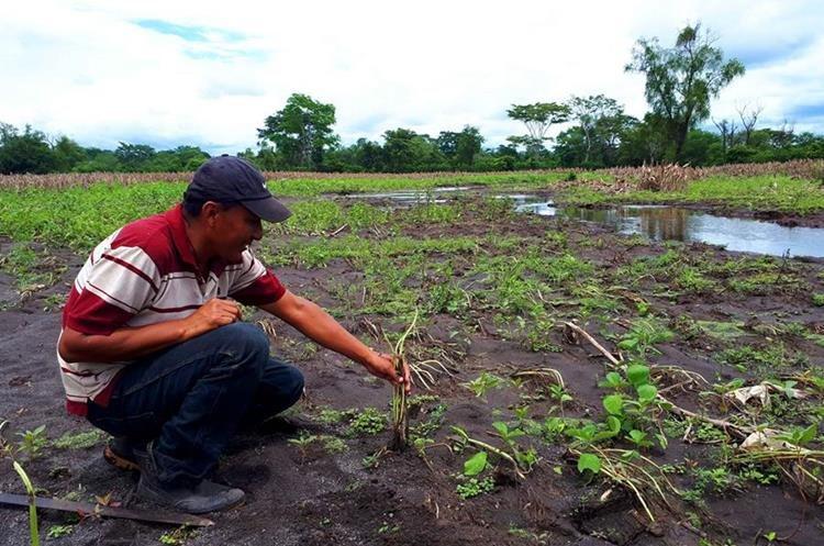 Un vecino muestra la siembra de ajonjolí que quedó enterrada entre la arena que azolvó el río Samalá en Retalhuleu.(Foto Prensa Libre: Rolando Miranda)