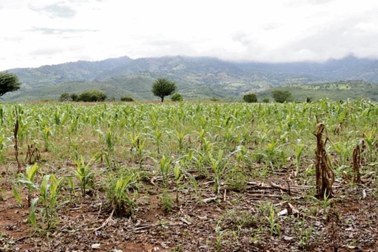 Campesinos de Chiquimula creen que este es el momento oportuno para aplicar fertilizante, pues la tierra está mojada.