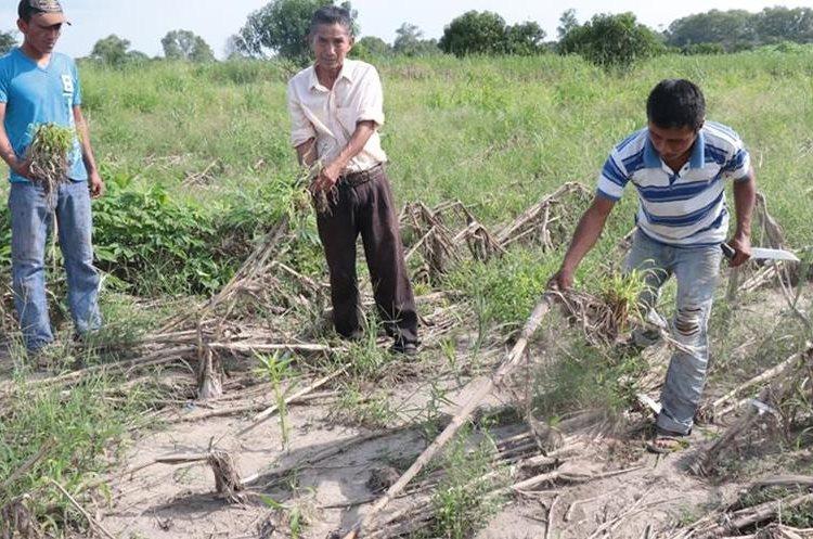 Ovidio Tahual muestra parte de sus siembras que se perdieron por las lluvias. (Foto Prensa Libre: Cristian Icó)