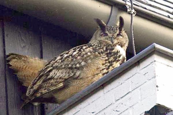 El búho águila se ha convertido en una sensación en los medios en el norte de Holanda.