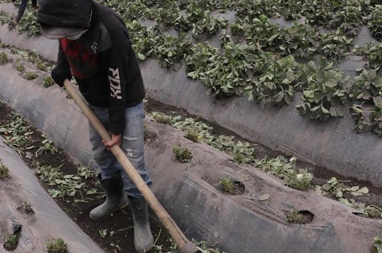Pobladores limpian los sembradíos para intentar salvar sus cosechas. (Foto Prensa Libre: Víctor Chamalé)