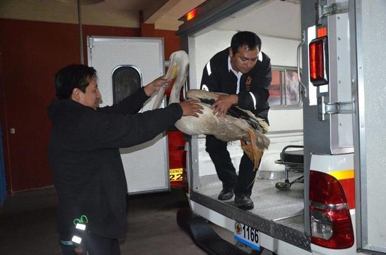 El pelícano fue trasladado a la estación de los Bomberos Voluntarios de Cantel, Quetzaltenango. (Foto Prensa Libre: Stereo 100 Xela)