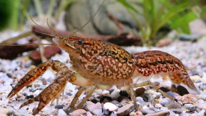 Una sola hembra de acuario dio lugar a toda una nueva especie. (Foto: Chris Lukhaup / DKFZ)
