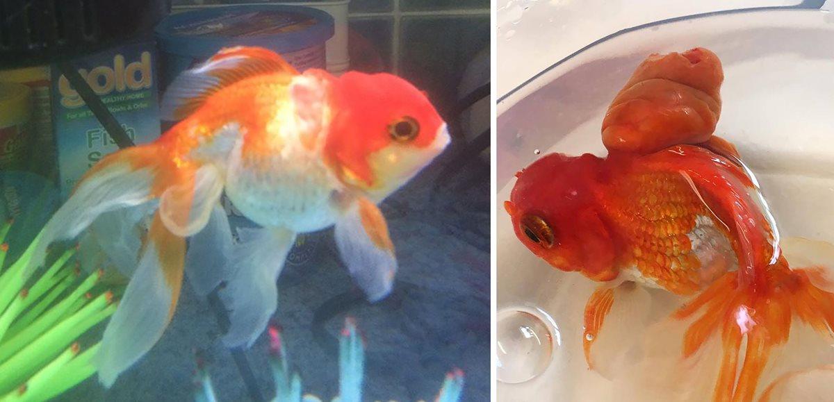 """Combo de imágenes que muestran el """"antes y después"""" de la cirugía de Nemo. (Foto Prensa Libre: AFP)."""