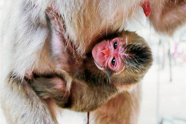 La imagen del mono recién nacido fu difundida por el zoológico. (Foto Prensa Libre: Internet).