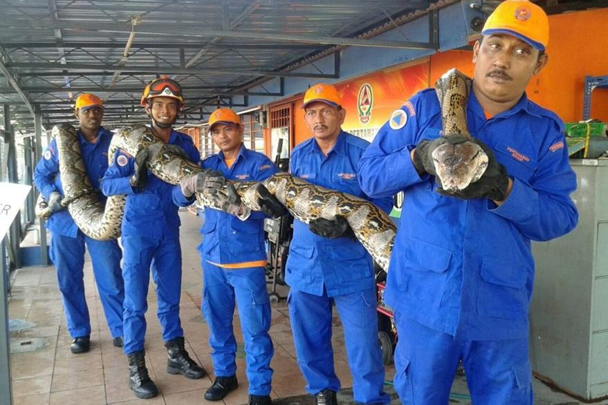 Miembros de la Fuerza de Defensa Civil de Malasia muestran la serpiente pitón capturada en Penang, Malasia. (Foto Prensa Libre: EFE).