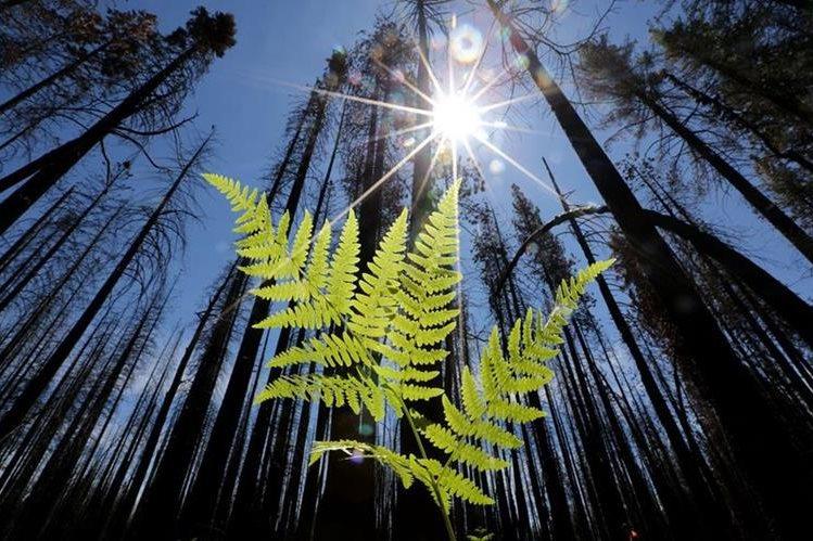 <em>El estudio estimó que antes de la civilización humana, la Tierra tenía unos 5.6 billones de árboles. (Foto Prensa Libre: AP).</em>