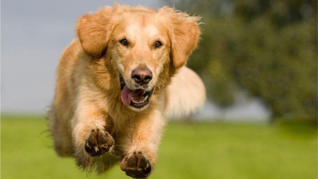 El Viagra puede utilizarse en los perros con hipertensión pulmonar. (Foto, Thinkstock)