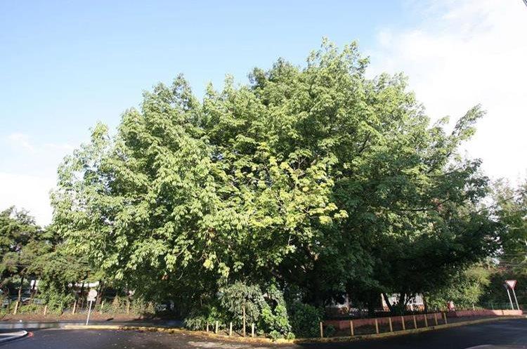 Por su frondosidad y altura, desde la época precolombina, la Ceiba, es considerada un árbol sagrado, cuyas ramas mayores además de apuntar hacia los cuatro puntos cardinales, sostienen el universo.  (Foto Prensa Libre: Hemeroteca PL)