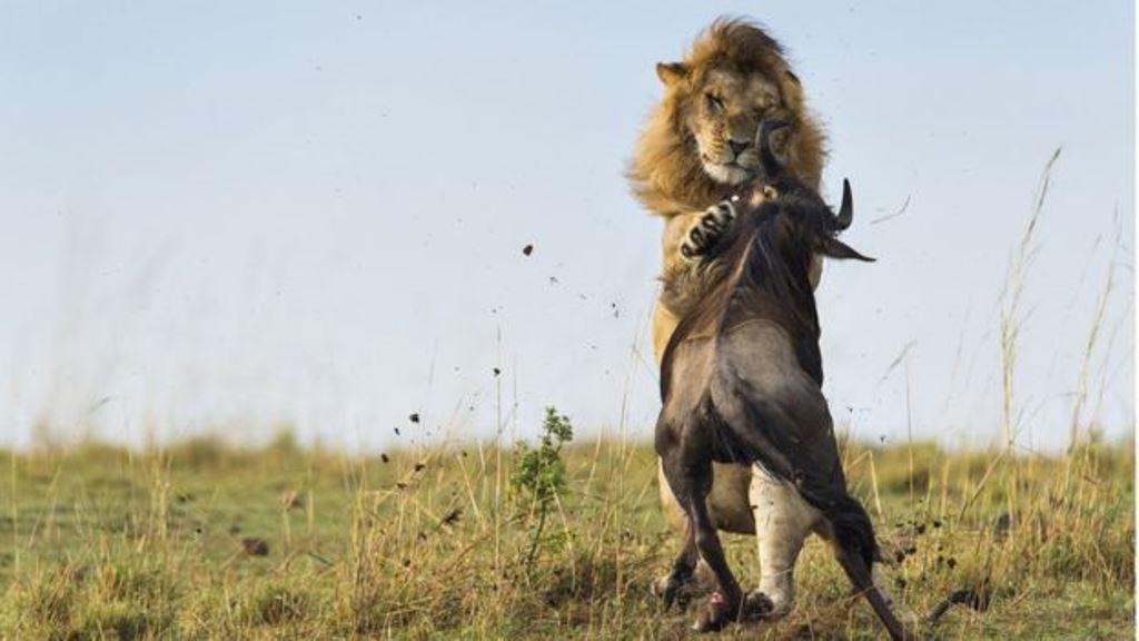 Desde el punto de vista evolutivo, los animales más osados tienen las mejores presas pero se arriesgan más. Los ejemplares tímidos prefieren evitar los enfrentamientos, lo cual también es una técnica exitosa para sobrevivir. (GETTY IMAGES)