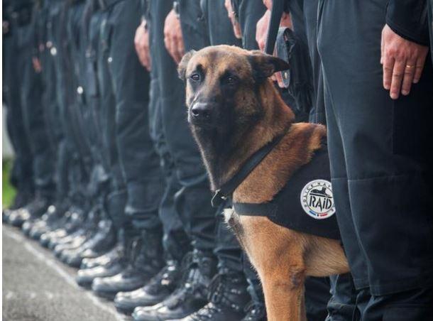 Diesel, de raza pastor alemán, murió en noviembre durante una redada lanzada por la policía francesa en Saint-Denis. (Foto Twitter/@PNationale).