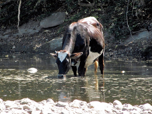 Una vaca bebe agua contaminada del río Lempa, en Esquipulas, Chiquimula. (Foto Prensa Libre: Mario Morales).