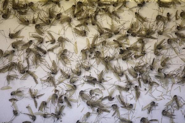Una bandeja muestra mosquitos Aedes Aegypti que transmiten el zika.(AP).