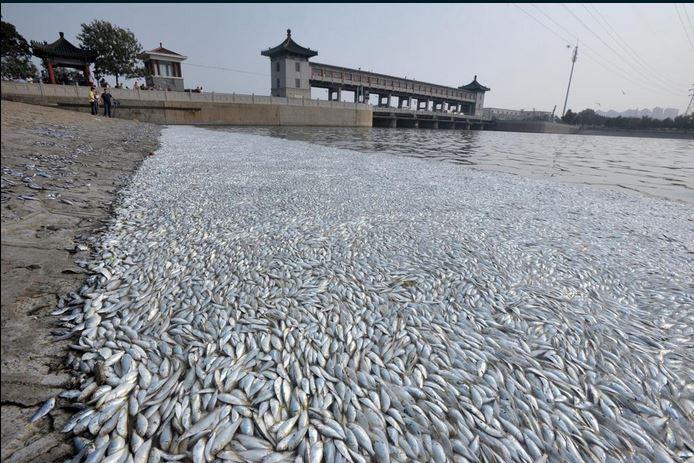 Miles de peces han aparecido muertos en las costas de Tianjin, ambientalistas lo atribuyen al alto grado de contaminación que se produjo a raíz de las explosiones. (Foto: @ActualidadRT).