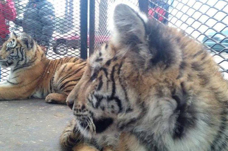 Luna y Altense son recibidos en el Zoológico Minerva, en Xela. (Foto Prensa Libre: María J. Longo)