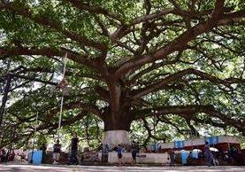 Ceiba ubicada en el centro de Palín, Escuintla, es orgullo de pobladores. (Foto Prensa Libre: Carlos E. Paredes)