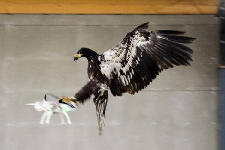 Varias águilas han sido entrenadas en Holanda para capturar drones en pleno vuelo. (Foto Prensa Libre: Youtube)