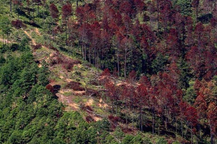 La plaga del gorgojo de pino provoca que los árboles en los bosques de coníferas mueran. (Foto Prensa Libre: Hemeroteca PL)