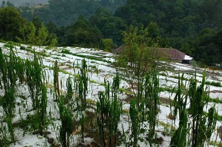 Según reportes, el granizo daño algunas áreas con cultivos en Tacaná. (Foto Prensa Libre: Carlos Barrios).