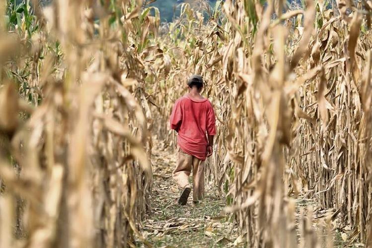 En Guatemala, alrededor de 154 mil familias han perdido entre el 50 y el cien por ciento de sus cosechas de maíz y fríjoles a causa de la sequía (Foto Prensa Libre: Hemeroteca PL)