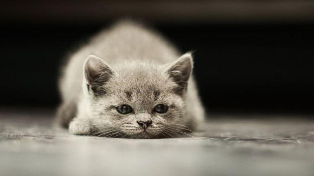 Los gatos empezaron a vivir con el hombre hace al menos 9.000 años, pero sólo fueron semi-domesticados. THINKSTOCK