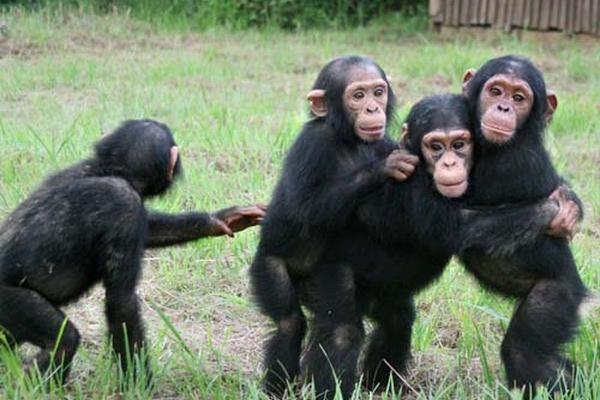 <p>Oenegé pide que Chimpancés actualmente enjaulados sean liberados. (Foto Prensa Libre:Internet)<br></p>