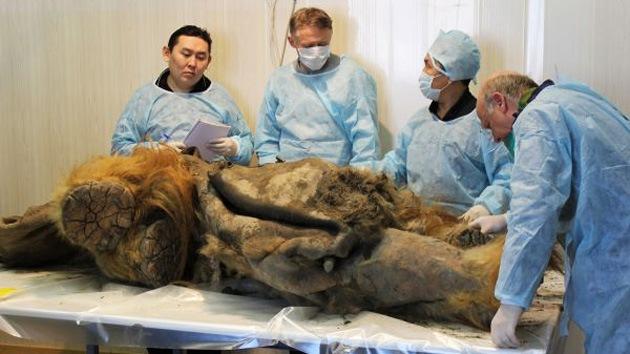 Expertos analizan el esqueleto congelado de un mamut descubierta en el 2012.