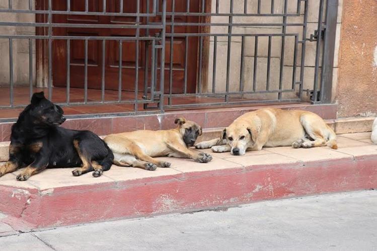En los parques de Santa Cruz del Quiché, hay proliferación de perros callejeros. (Foto Prensa Libre: Héctor Cordero)