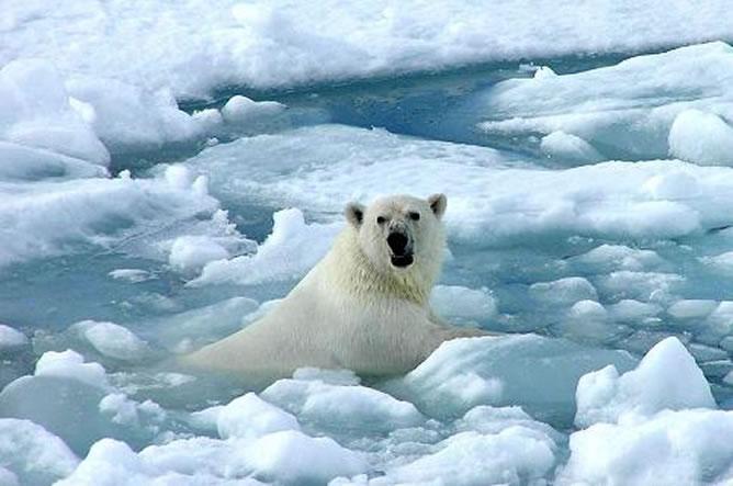 Los osos polares son los primeros en resentir los efectos del deshielo en el Ártico debido al derretimiento de los grandes témpanos. (Foto Prensa Libre: Internet).