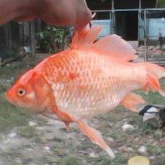 Pescado de color naranja fue atrapado por pescador artesanal en lago Petén Itzá. (Foto Prensa Libre: Rigoberto Escobar)