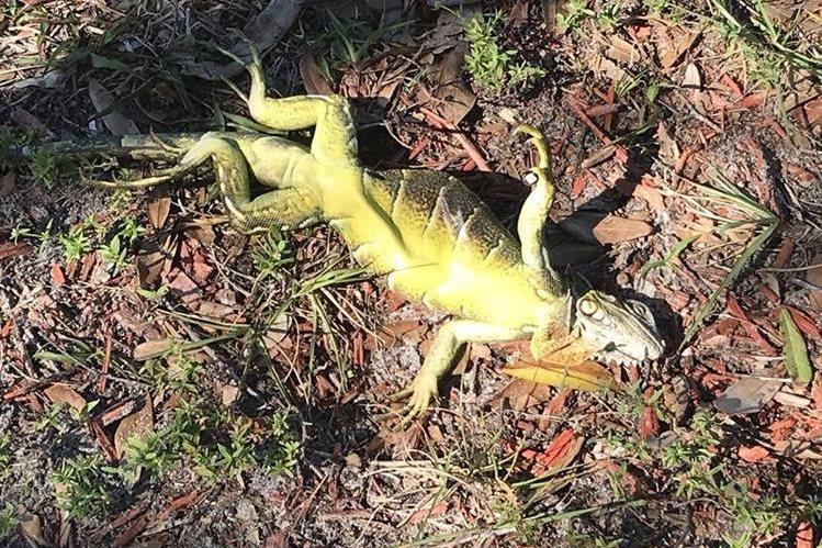 Una iguana congelada en el condado de Palm Beach. (Foto Prensa Libre: Maxine Bentzel/CBS News).