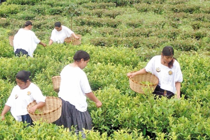 Plantación de té orgánico Chirripeco en la ruta hacia San Juan Chamelco.
