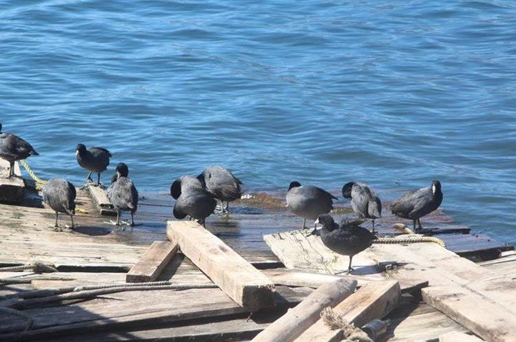 Las gallaretas son parte del paisaje del Lago de Atitlán. (Foto Prensa Libre: Ángel Julajuj)