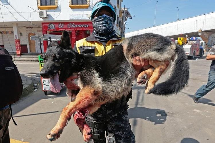 Un rescatista carga a un perro que resultó herido por el terremoto en Ecuador. (Foto Prensa Libre: AFP).