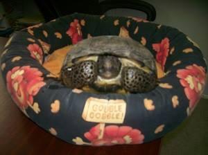 La tortuga fue rescatada por las autoridades y será enviada a un centro de recuperación. (Foto Facebook/Dothan Police Department).
