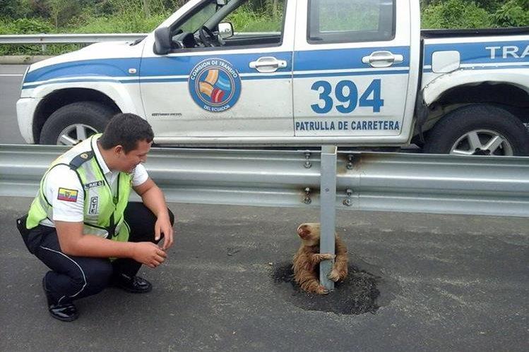 Un policía de tránsito rescató a un perezoso. (Foto Prensa Libre: DPA)